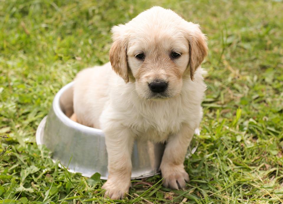 puppy-1207816_960_720